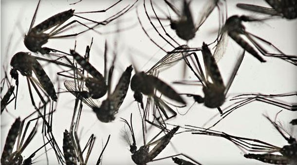 Aedes aegypti mosquitoes are a vector for the proliferation of the Zika virus. Felipe Dana/AP